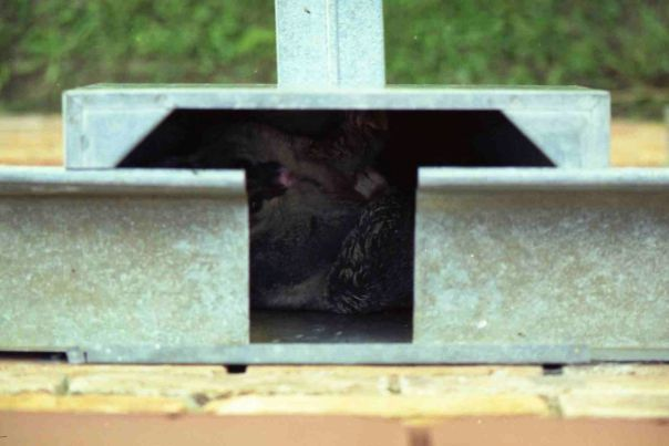 Possum in guttering