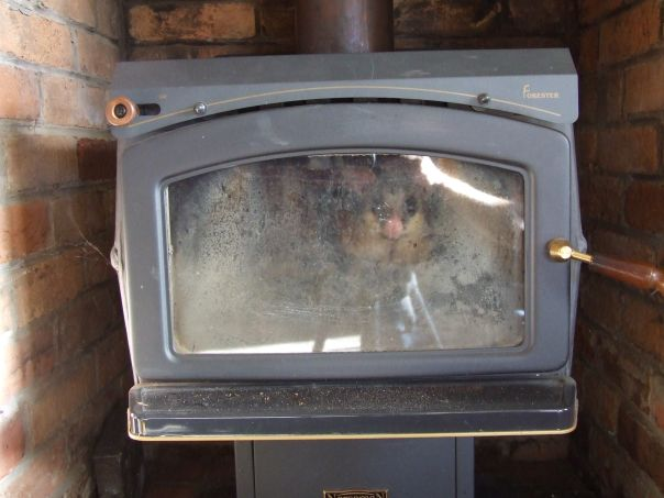 Possum peering through the glass of a wood heater