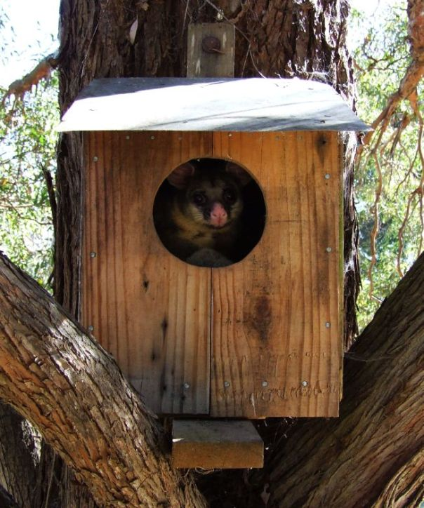 Possum in a possum house